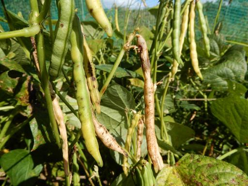 自然農の畑 9月中旬~10月上旬_d0366590_11194161.jpg
