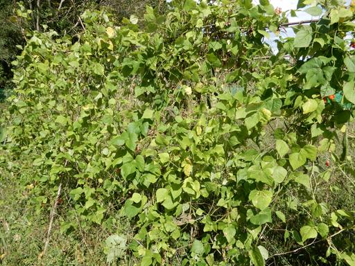 自然農の畑 9月中旬~10月上旬_d0366590_11231100.jpg