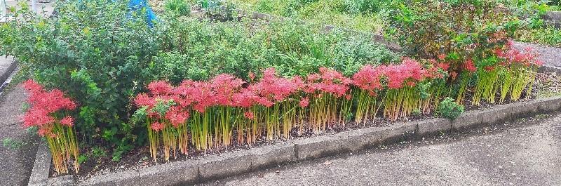 20201006 【植物】ヒガンバナ_b0013099_14341766.jpg