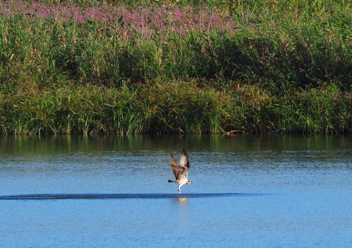 美しき湿原にミサゴがやって来た Ⅹ_d0290240_10035196.jpg
