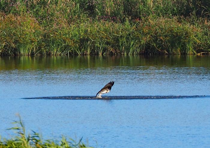 美しき湿原にミサゴがやって来た Ⅹ_d0290240_10035219.jpg