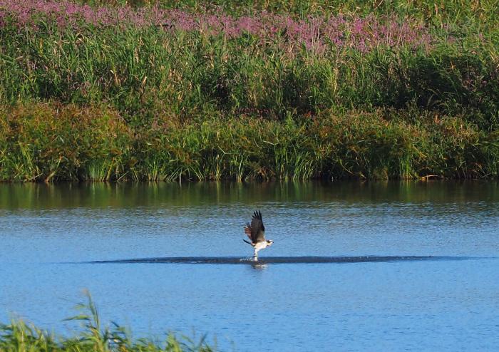 美しき湿原にミサゴがやって来た Ⅹ_d0290240_10035236.jpg