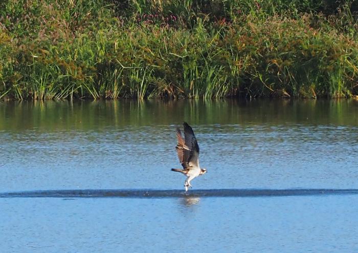 美しき湿原にミサゴがやって来た Ⅹ_d0290240_10035342.jpg