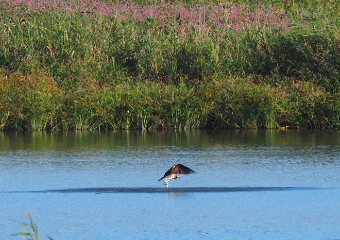 美しき湿原にミサゴがやって来た Ⅹ_d0290240_10035360.jpg