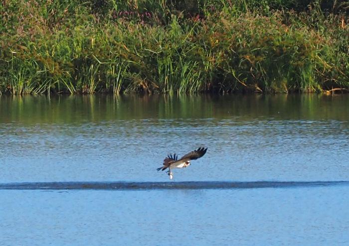 美しき湿原にミサゴがやって来た Ⅹ_d0290240_10035424.jpg