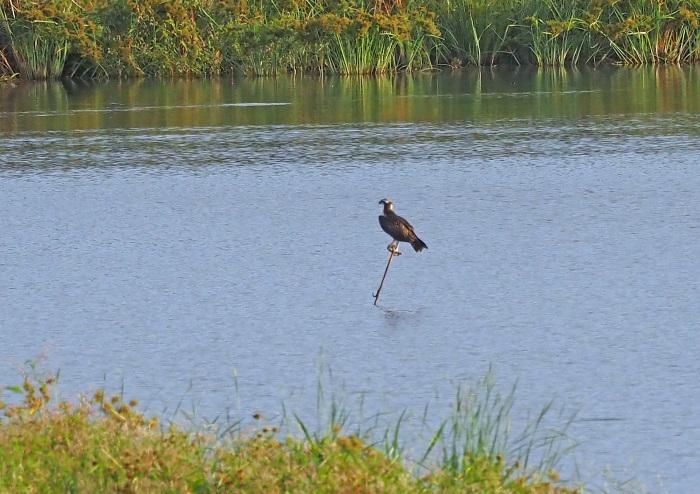 美しき湿原にミサゴがやって来た Ⅻ_d0290240_10091303.jpg