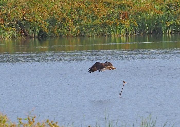 美しき湿原にミサゴがやって来た Ⅻ_d0290240_10091419.jpg