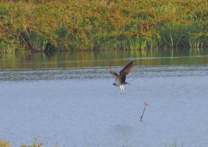 美しき湿原にミサゴがやって来た Ⅻ_d0290240_10091435.jpg