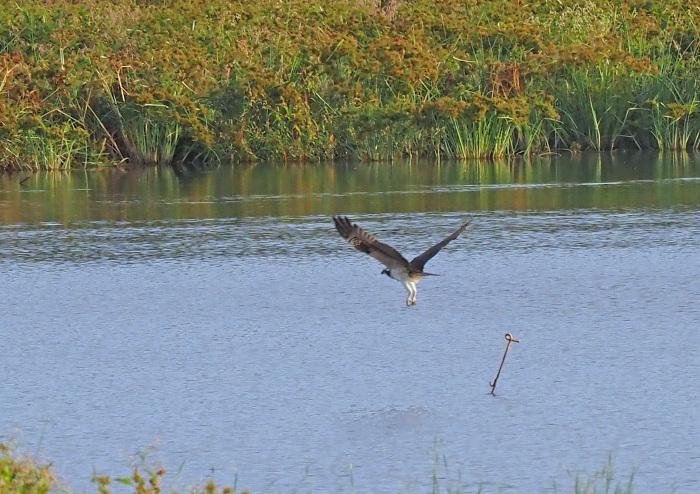 美しき湿原にミサゴがやって来た Ⅻ_d0290240_10091588.jpg