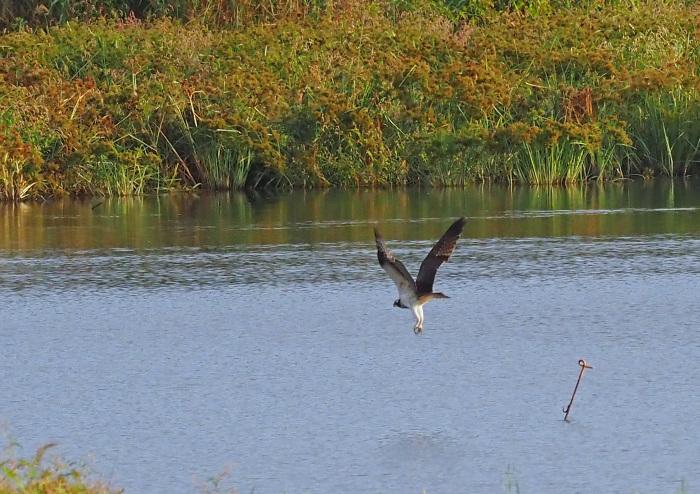 美しき湿原にミサゴがやって来た Ⅻ_d0290240_10091616.jpg