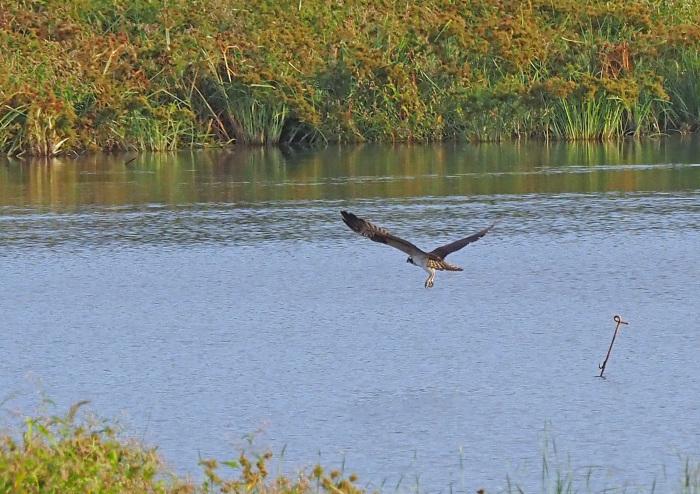 美しき湿原にミサゴがやって来た Ⅻ_d0290240_10091658.jpg
