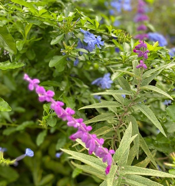 my garden 秋に咲く花が次々と♪_a0165160_16551204.jpg