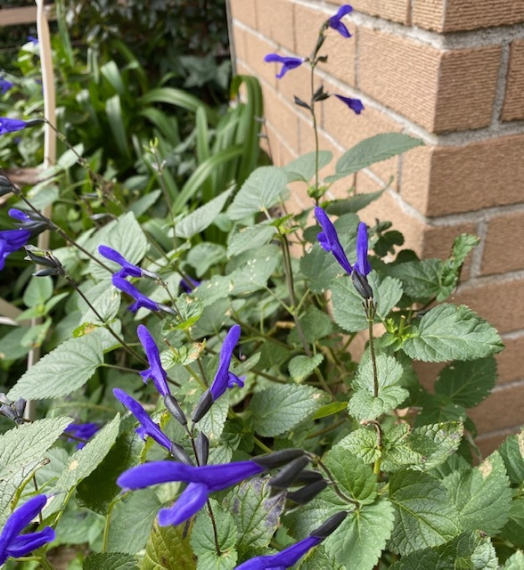 my garden 秋に咲く花が次々と♪_a0165160_16563104.jpg