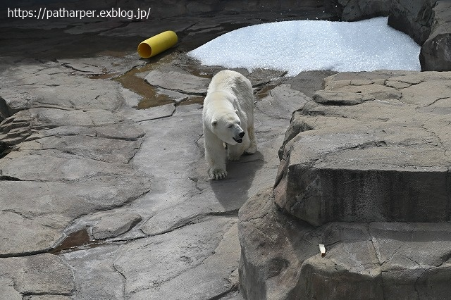 2020年9月 王子動物園2 その5 みゆきさんのオヤツタイム_a0052986_07431259.jpg