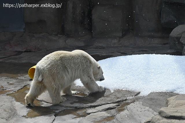 2020年9月 王子動物園2 その5 みゆきさんのオヤツタイム_a0052986_07441535.jpg