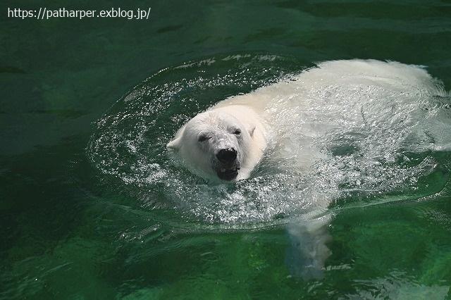 2020年9月 王子動物園2 その5 みゆきさんのオヤツタイム_a0052986_07442445.jpg