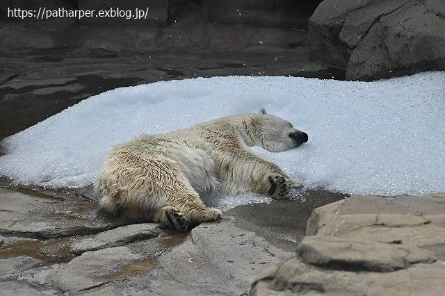 2020年9月 王子動物園2 その5 みゆきさんのオヤツタイム_a0052986_07495382.jpg