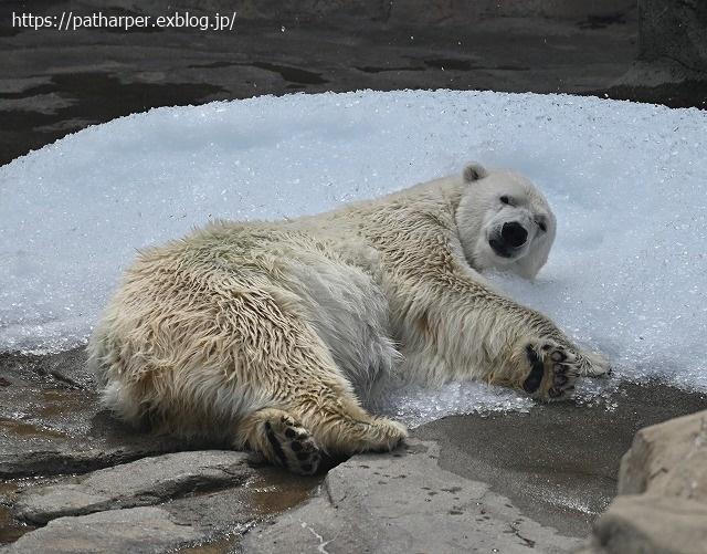 2020年9月 王子動物園2 その5 みゆきさんのオヤツタイム_a0052986_07495597.jpg