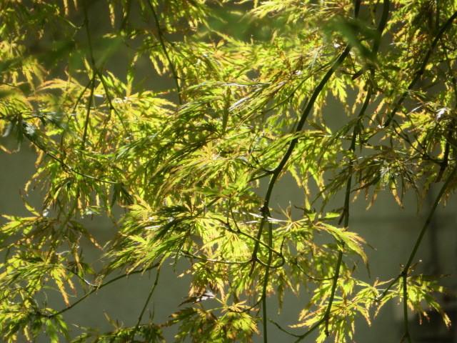 名の如く、秋の花・秋明菊_f0329849_22483676.jpg