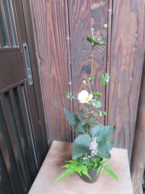 名の如く、秋の花・秋明菊_f0329849_22484743.jpg