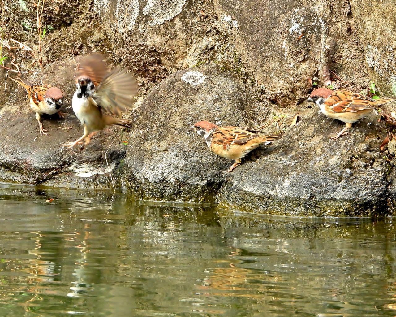 三ツ寺公園で カモとスズメ_c0305565_17270114.jpg