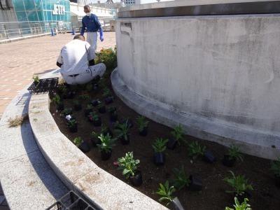 名古屋港水族館前花壇の植栽R2.10.7_d0338682_11083424.jpg