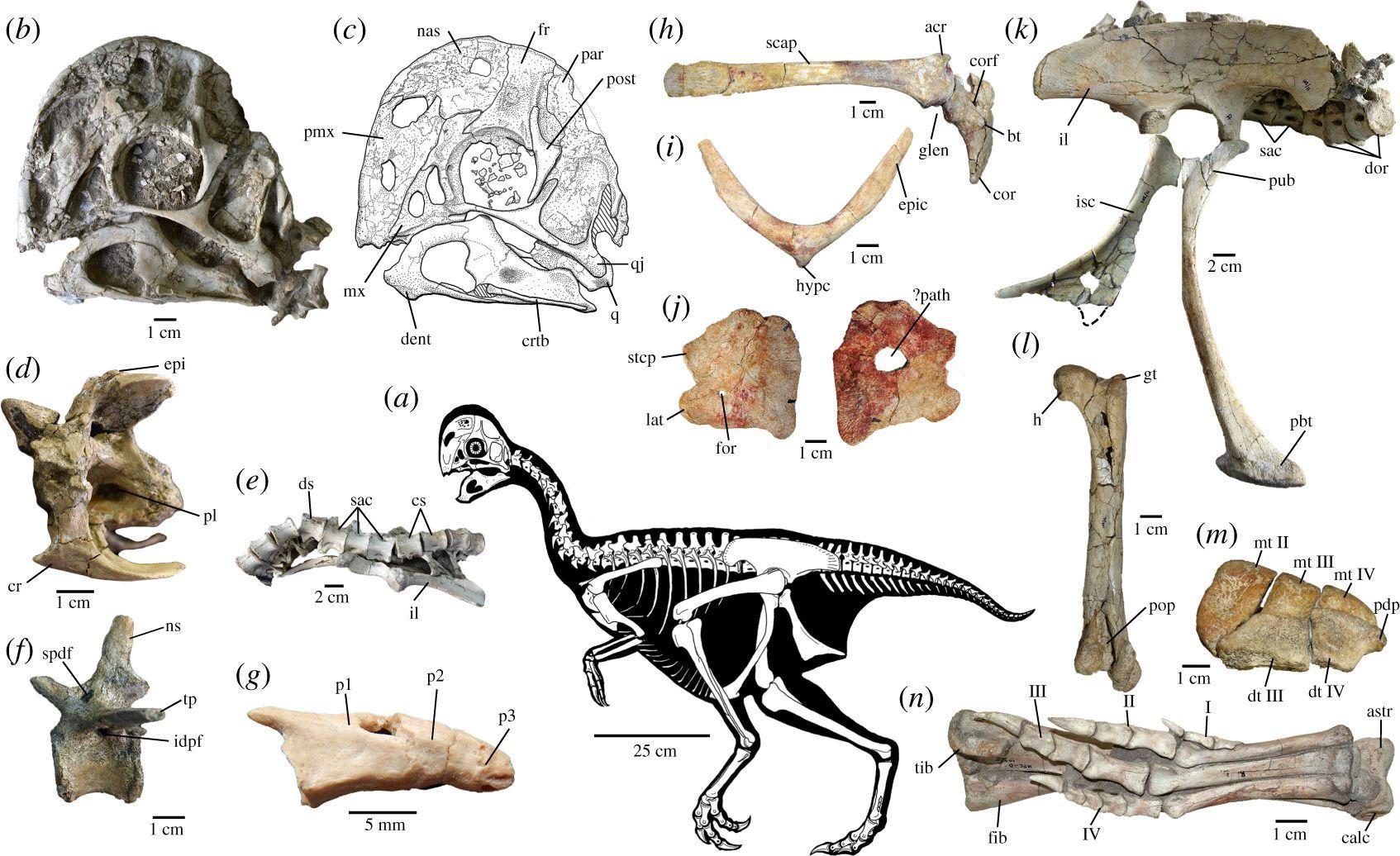 指の数が減る進化を示すオビラプトル類の新種化石論文_c0025115_22174735.jpg