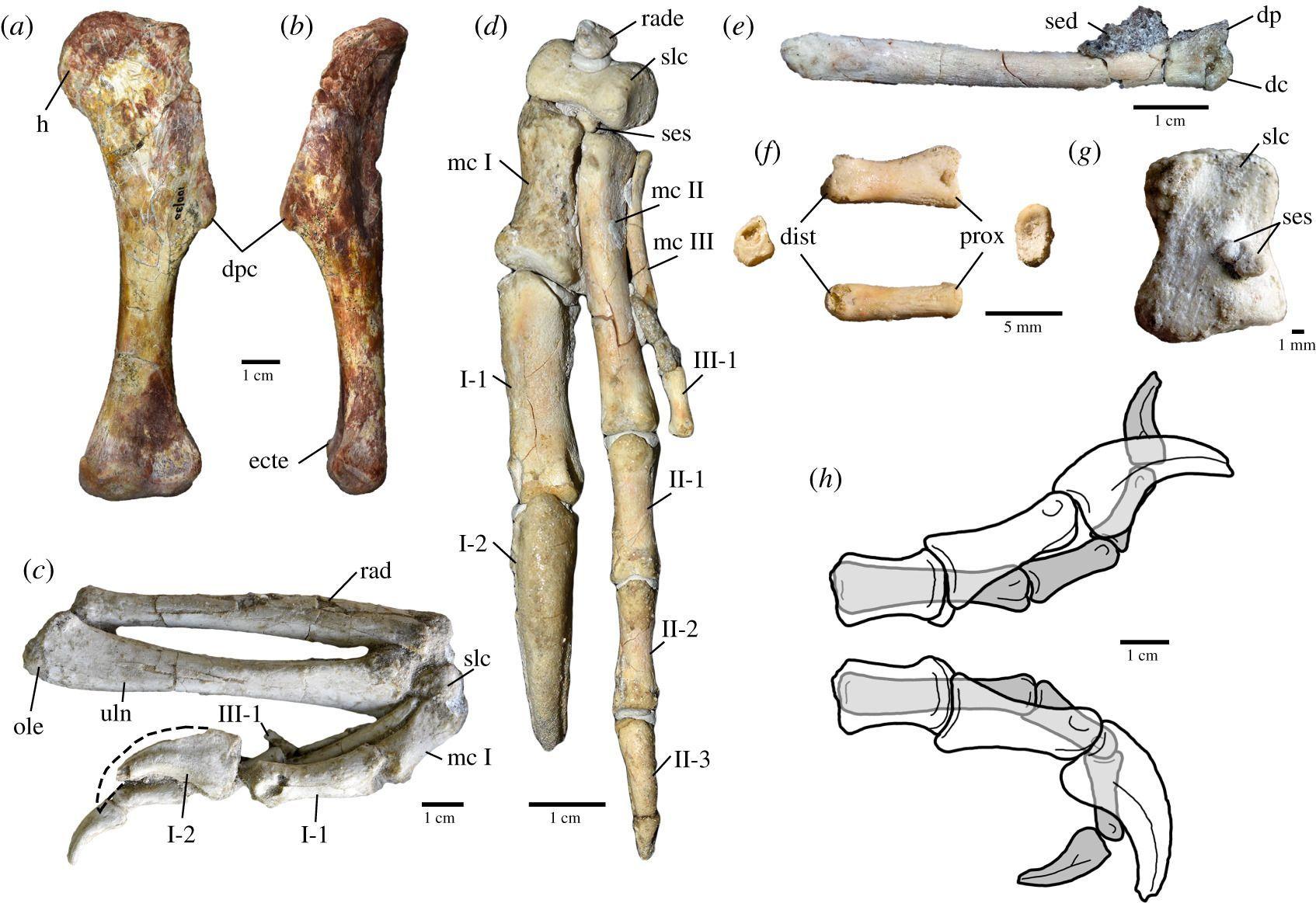 指の数が減る進化を示すオビラプトル類の新種化石論文_c0025115_22233513.jpg