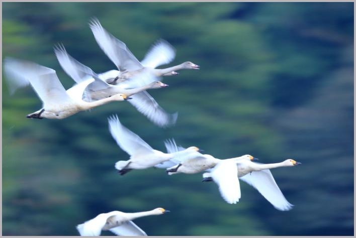 2020年)(秋)白鳥_a0123239_11454494.jpg