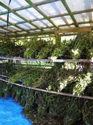 無農薬・無化学肥料で育てる「菊池水源産えごま」 令和2年産『白えごま』の収穫が完了しました!_a0254656_19335803.jpg