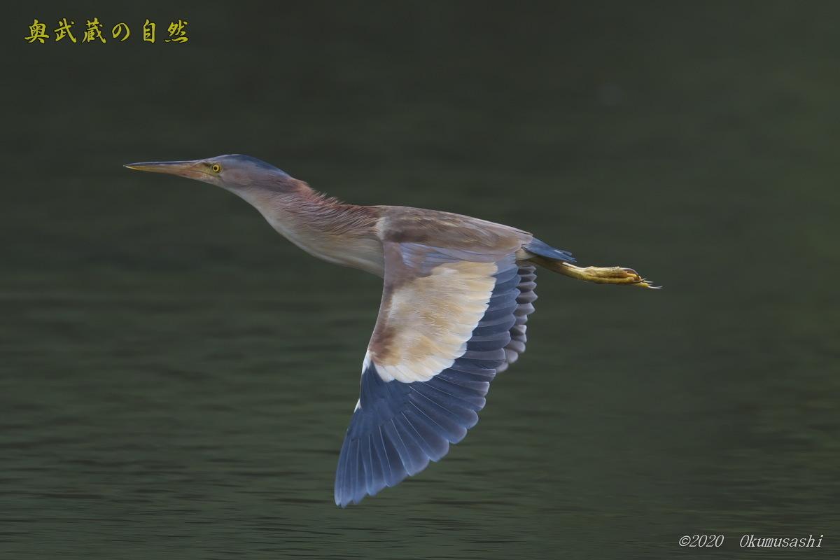 ヨシゴイの飛翔_e0268015_19002116.jpg