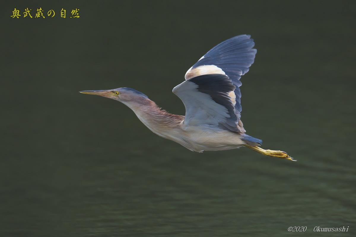 ヨシゴイの飛翔_e0268015_19003388.jpg