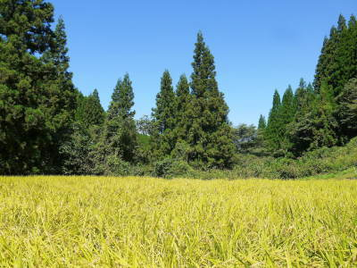 米作りの挑戦(2020) まもなく収穫!3年目の米作りは波乱もありながらなんとか順調?です!(前編)_a0254656_17095226.jpg
