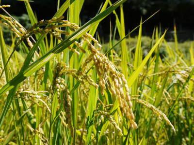 米作りの挑戦(2020) まもなく収穫!3年目の米作りは波乱もありながらなんとか順調?です!(前編)_a0254656_17224709.jpg