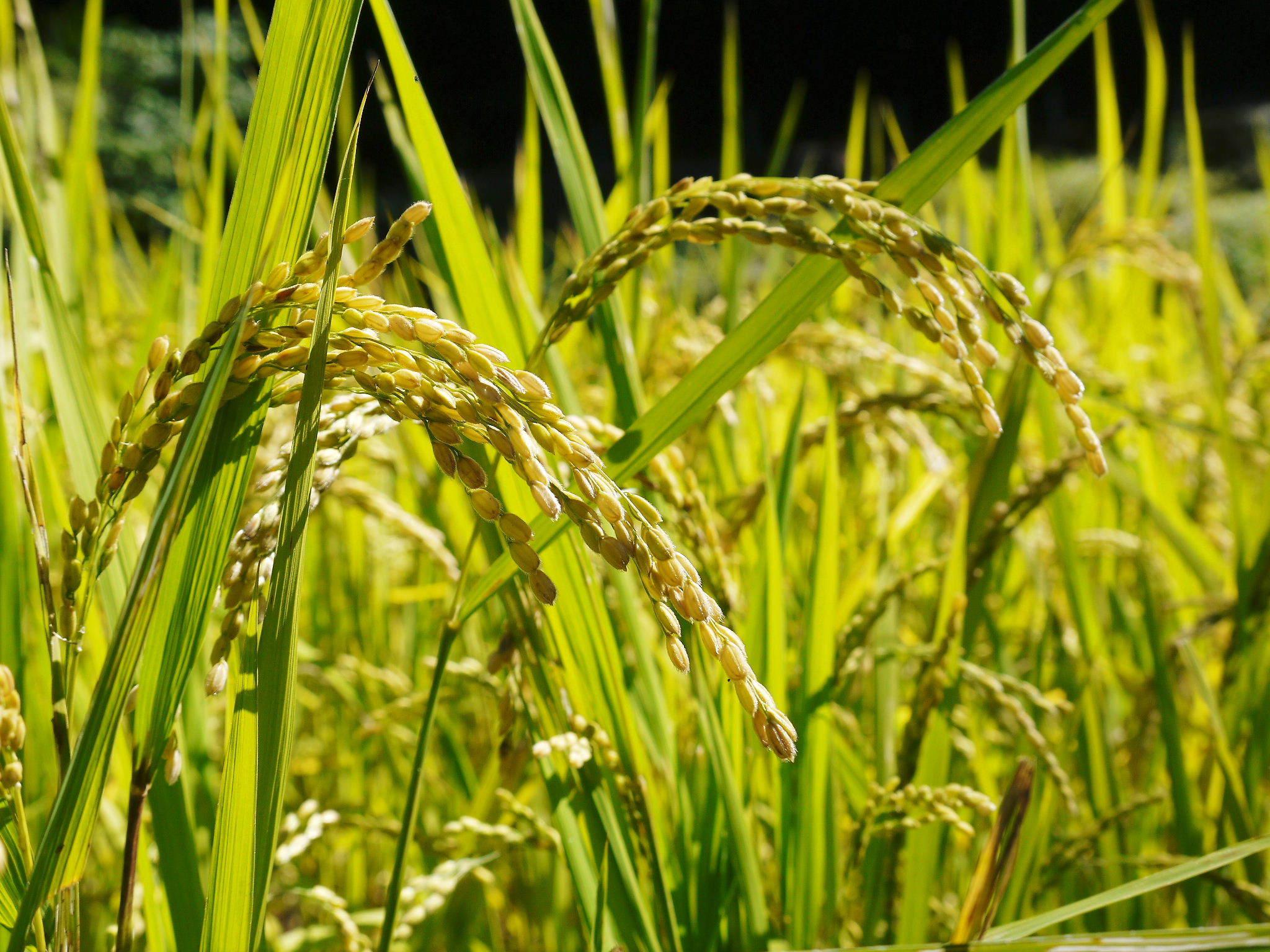 米作りの挑戦(2020) まもなく収穫!3年目の米作りは波乱もありながらなんとか順調?です!(前編)_a0254656_18035066.jpg