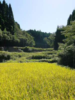 米作りの挑戦(2020) まもなく収穫!3年目の米作りは波乱もありながらなんとか順調?です!(後編)_a0254656_17101251.jpg