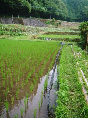 米作りの挑戦(2020) まもなく収穫!3年目の米作りは波乱もありながらなんとか順調?です!(後編)_a0254656_17245988.jpg