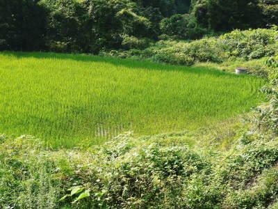 米作りの挑戦(2020) まもなく収穫!3年目の米作りは波乱もありながらなんとか順調?です!(後編)_a0254656_17382034.jpg