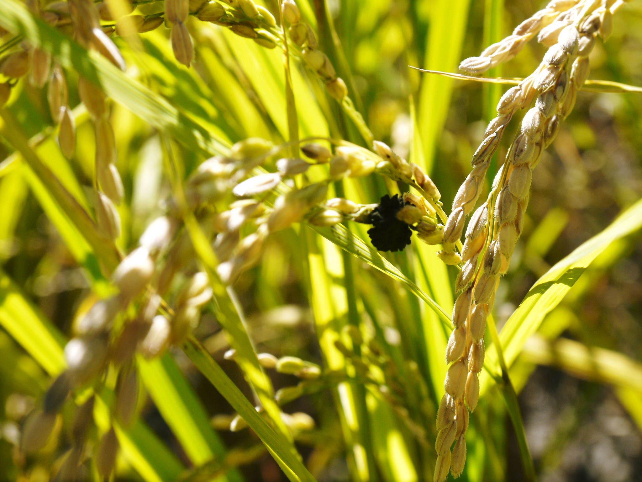 米作りの挑戦(2020) まもなく収穫!3年目の米作りは波乱もありながらなんとか順調?です!(後編)_a0254656_17474121.jpg