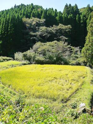 米作りの挑戦(2020) まもなく収穫!3年目の米作りは波乱もありながらなんとか順調?です!(後編)_a0254656_17532995.jpg
