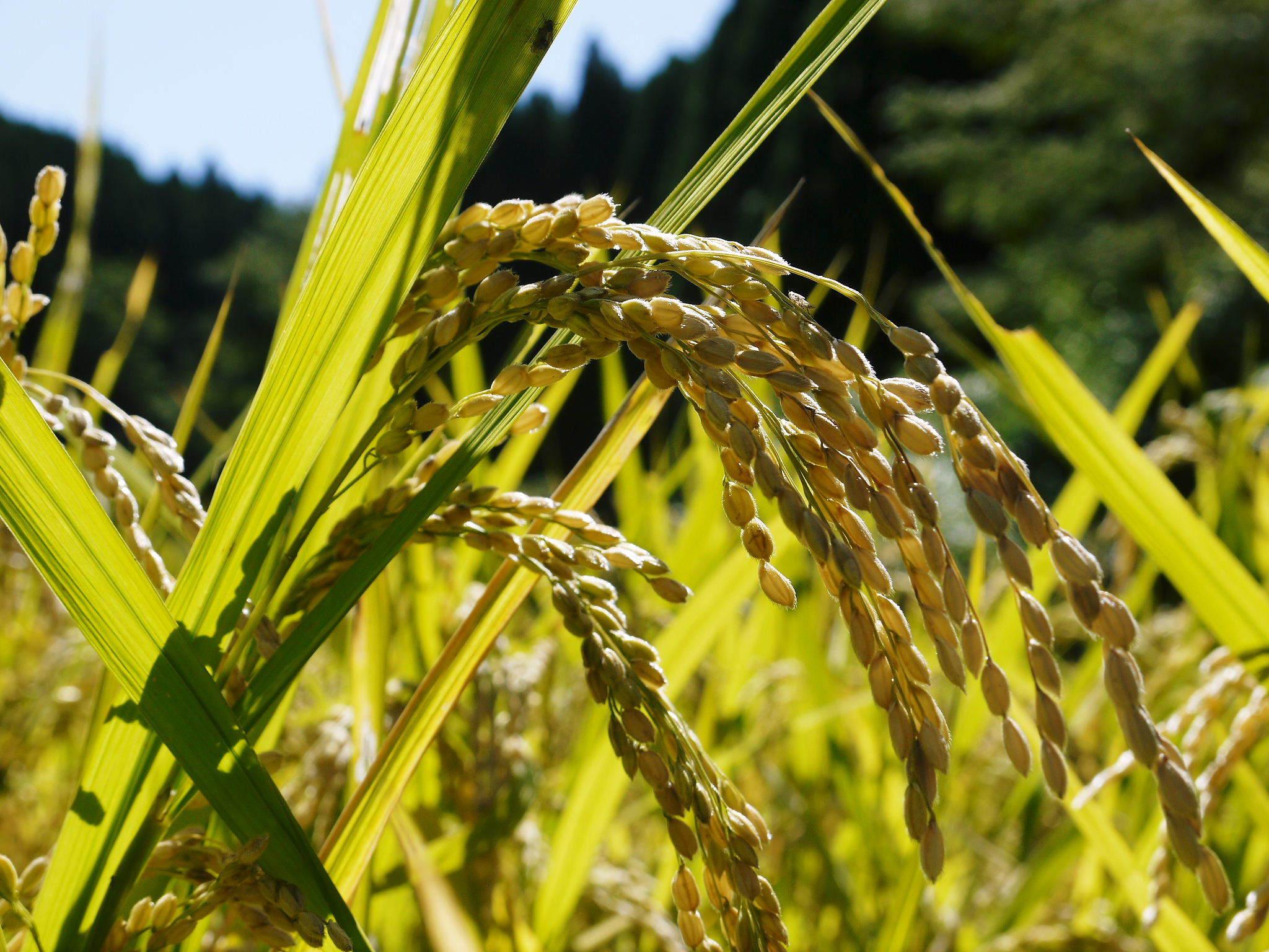 米作りの挑戦(2020) まもなく収穫!3年目の米作りは波乱もありながらなんとか順調?です!(後編)_a0254656_17561740.jpg