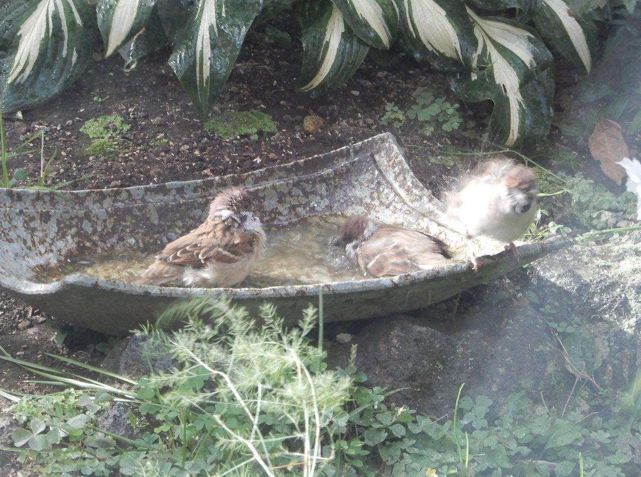 スズメの水浴び_c0025115_22094379.jpg
