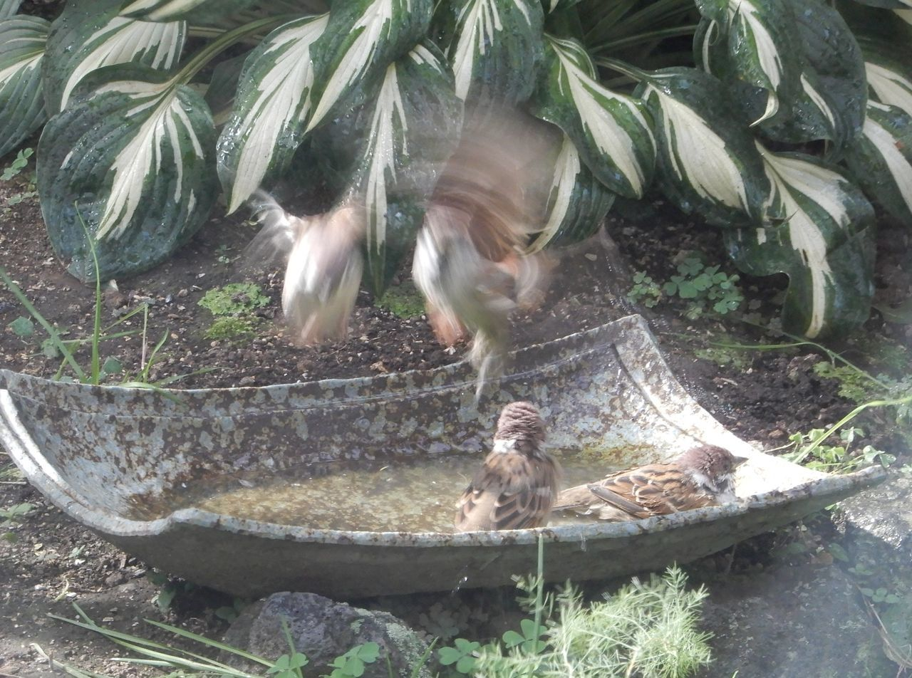 スズメの水浴び_c0025115_22115679.jpg
