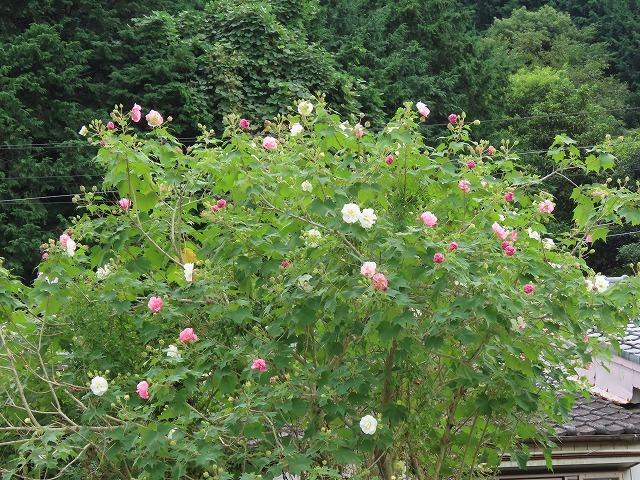 色鮮やかな酔フヨウの花(撮影:10月7日)_e0321325_16574748.jpg