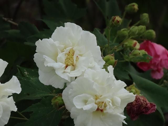 色鮮やかな酔フヨウの花(撮影:10月7日)_e0321325_16580283.jpg