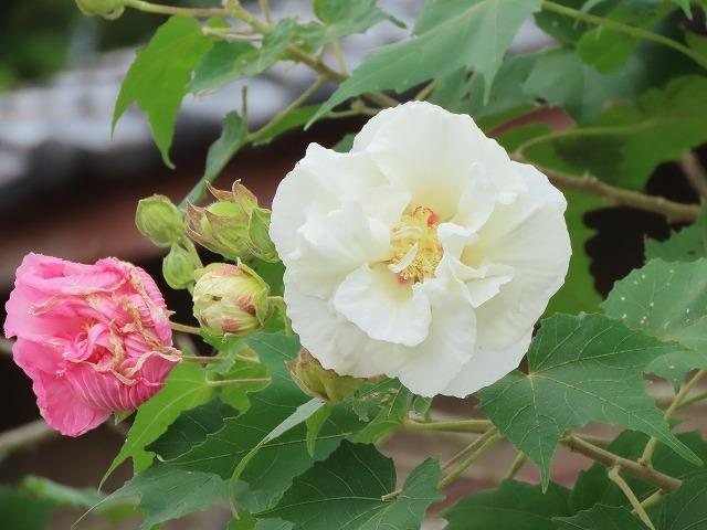 色鮮やかな酔フヨウの花(撮影:10月7日)_e0321325_16590176.jpg