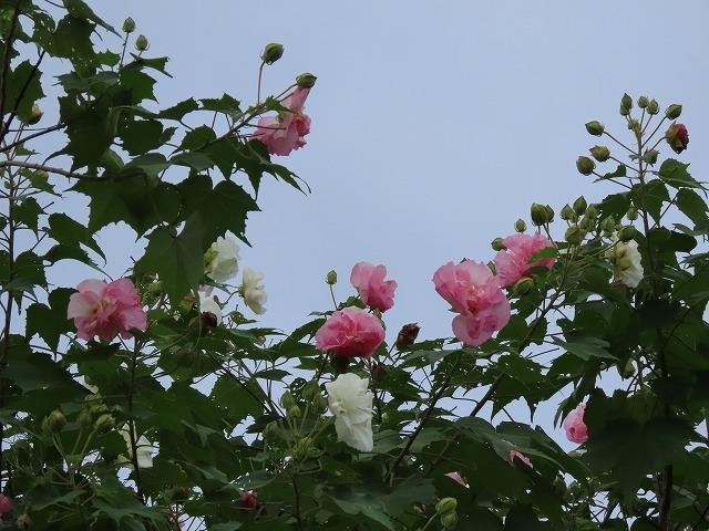 色鮮やかな酔フヨウの花(撮影:10月7日)_e0321325_16591413.jpg