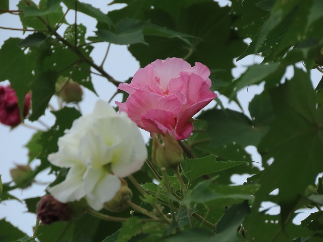 色鮮やかな酔フヨウの花(撮影:10月7日)_e0321325_16592900.jpg