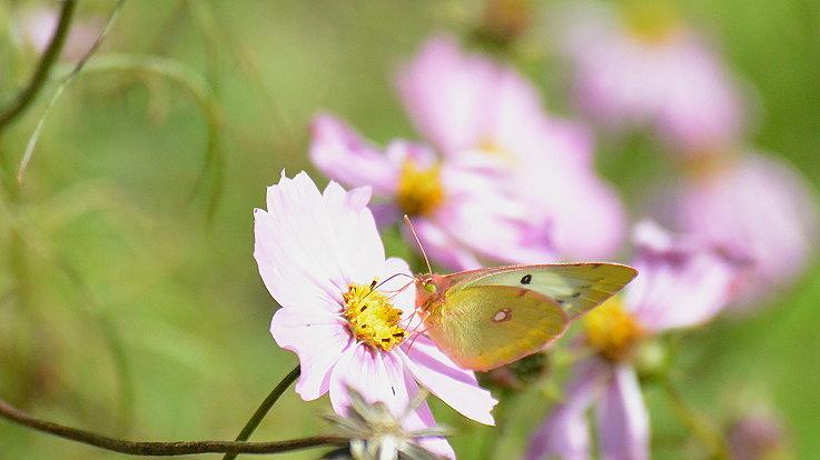 今日の蝶達_e0405343_17210703.jpg