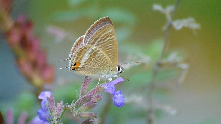 今日の蝶達_e0405343_17210769.jpg
